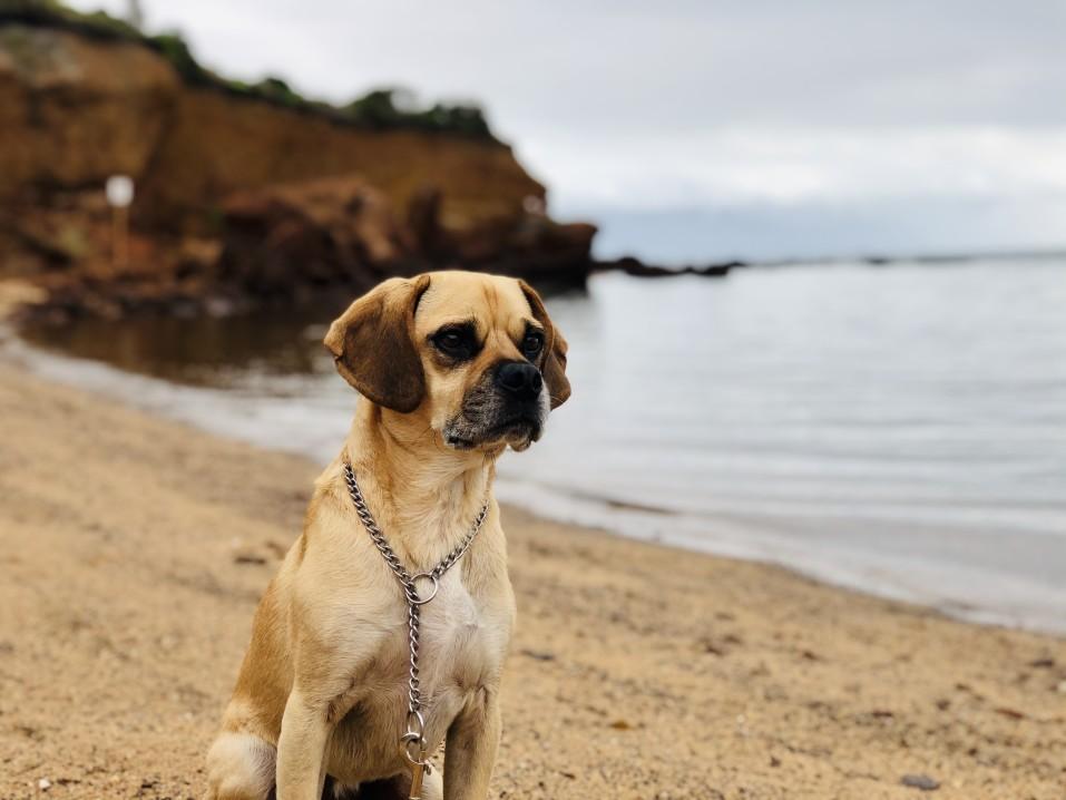 Puggle on Beach