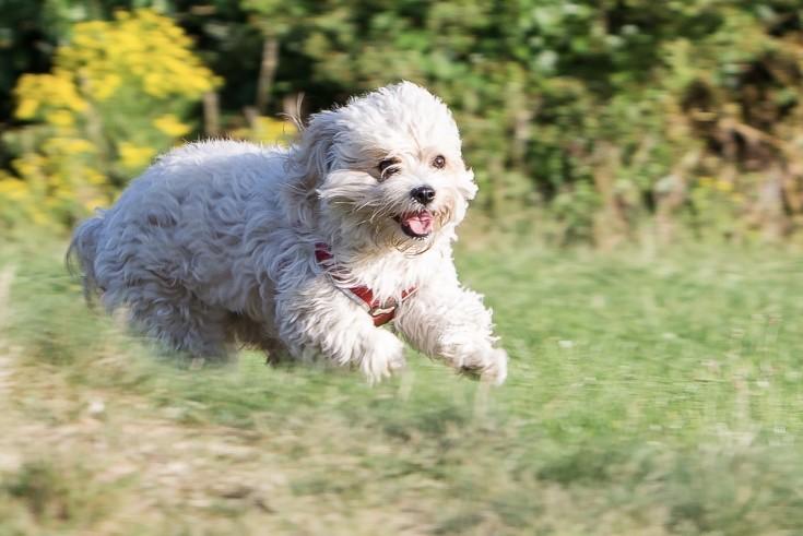 Cavachon pupppy running in grass